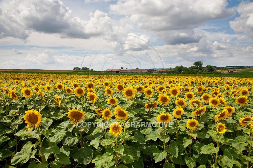 20090711-IMG_3693 | blühende Sonnenblumen im Sommer - AGRARMOTIVE Bilder aus der Landwirtschaft
