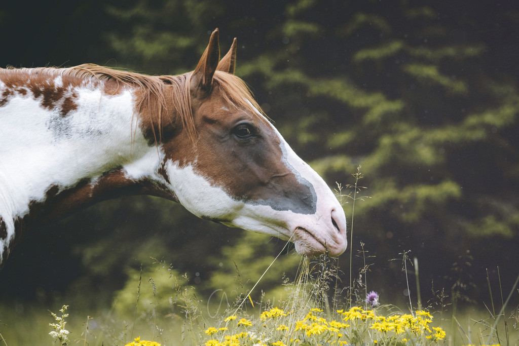 Bunt geflecktes Pferd | Pferdeporträt von bunt geflecktem Pferd. Im Hintergrund Wald.