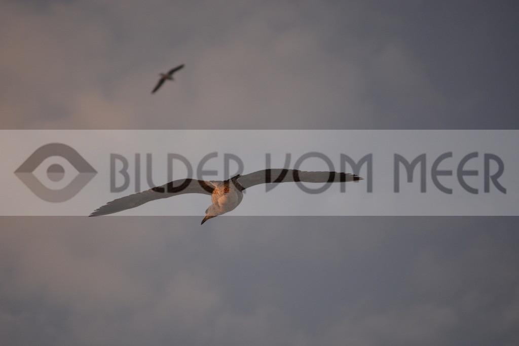 Möwen Bilder | Möwen bei Gleitflug in Tanger