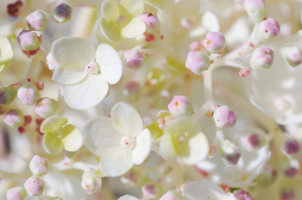 Best. Nr. metall10 | Detail einer weißen Hortensienblüte | Zum Element Metall gehört der Westen, seine Jahreszeit ist der Herbst, seine Farben sind weiß, silber und gold, gerne auch glänzend. Es kommen runde und spiralige Formen in Frage. Metall repräsentiert Klarheit, Ordnung und Distanz und steht mit Erfolg und Reichtum in Verbindung. Daher eignet es sich besonders auch für Geschäftsräumlichkeiten, Büros oder Anwaltskanzleien.