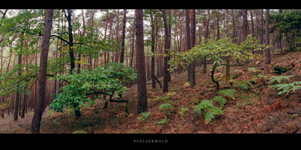 Pfälzerwald | Kiefernwald mit Farnen im Pfälzerwald