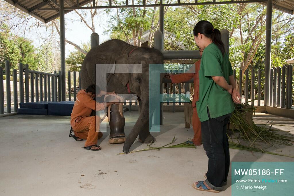 MW05186-FF | Thailand | Lampang | Reportage: Krankenhaus für Elefanten | Tierärztin Cruetong Kayan beobachtet wie ein Tierpfleger die Beinprothese den Elefantenbaby Mosha anlegt.  ** Feindaten bitte anfragen bei Mario Weigt Photography, info@asia-stories.com **
