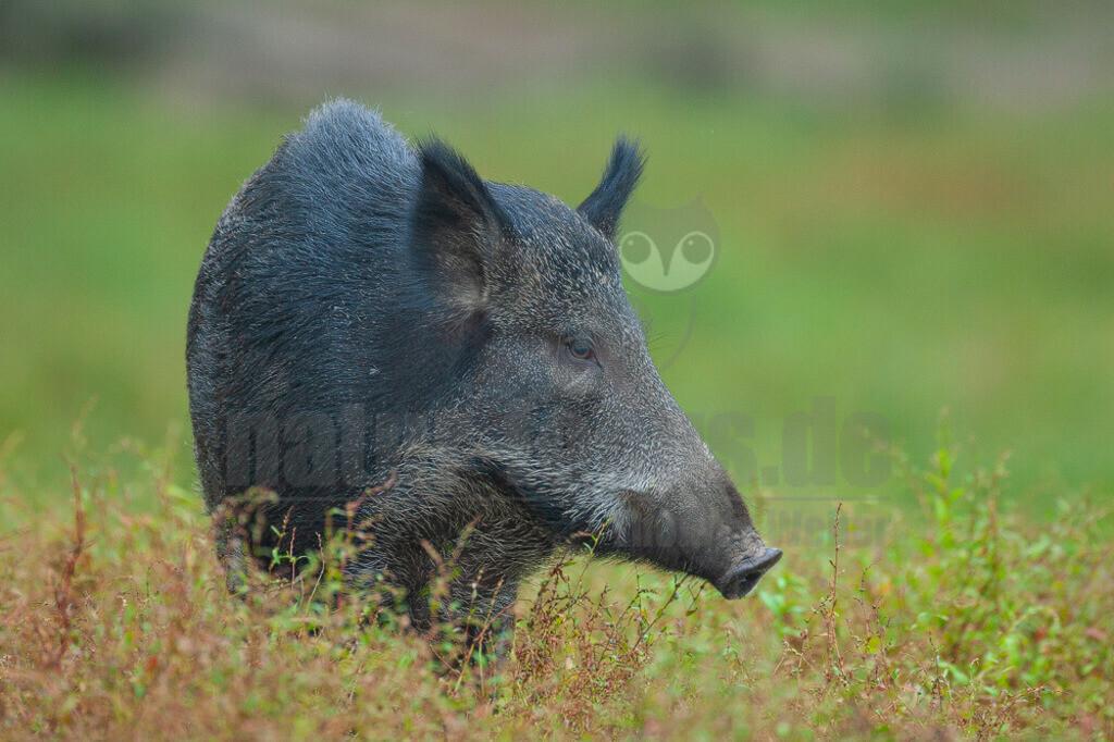 20070831190547 | Wildschweine sind nicht nur urig und wehrhaft, sondern vor allem sehr anpassungsfähig. Das machte sie zum Gewinner in unserer Kulturlandschaft. Durch milde Winter, Futter im Überfluss und viele neue Verstecke durch den zunehmenden Maisanbau haben die schlauen Sauen ihre Population in den vergangenen Jahrzehnten vervielfacht.