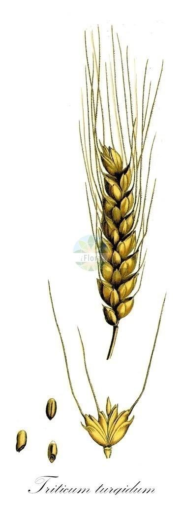 Historical drawing of Triticum turgidum (Wheat)   Historical drawing of Triticum turgidum (Wheat) showing leaf, flower, fruit, seed