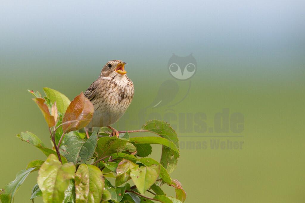 20140520_152909 Kopie | Die Grauammer ist eine Vogelart aus der Familie der Ammern. Diese Ammer besiedelt große Teile der südwestlichen Paläarktis von den Kanarischen Inseln, dem Nordwesten Afrikas, Portugal und Irland nach Osten bis in den Südwesten des Iran und Kasachstan.