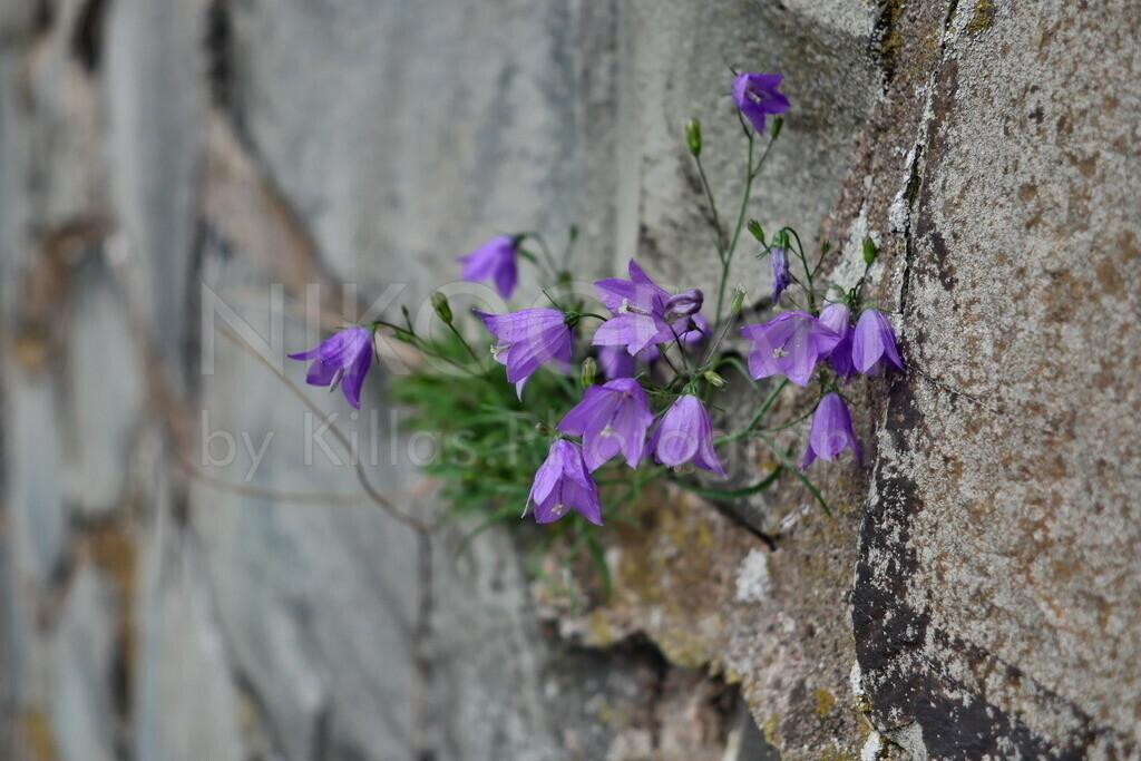 Glockenblumen   Glockenblumen sprießen an einer Mauer hervor.