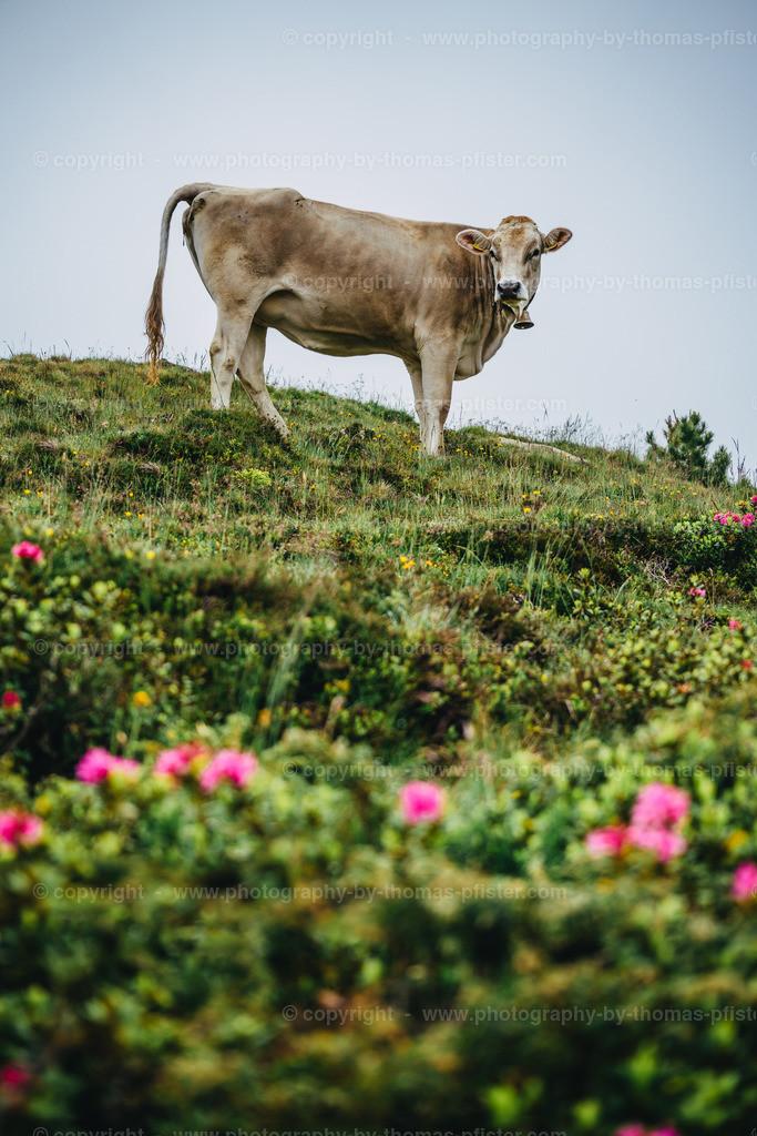 Kuh am Penken