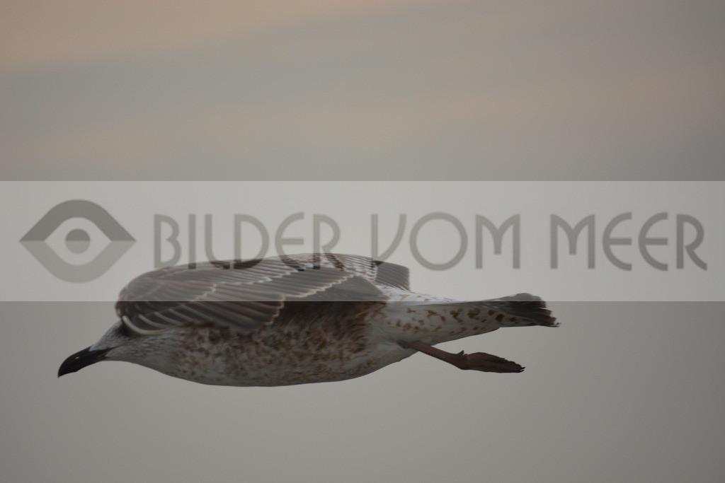 Möwen Bilder | Möwe im Gleitflug über dem Meer