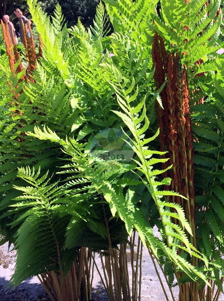 Osmundastrum cinnamomeum | Foto von Osmundastrum cinnamomeum. Das Bild zeigt Blatt und Spore. Das Foto wurde in Goeteborg, Schweden aufgenommen. ---- Photo of Osmundastrum cinnamomeum.The image is showing leaf and spore.The picture was taken in Gothenburg, Sweden.