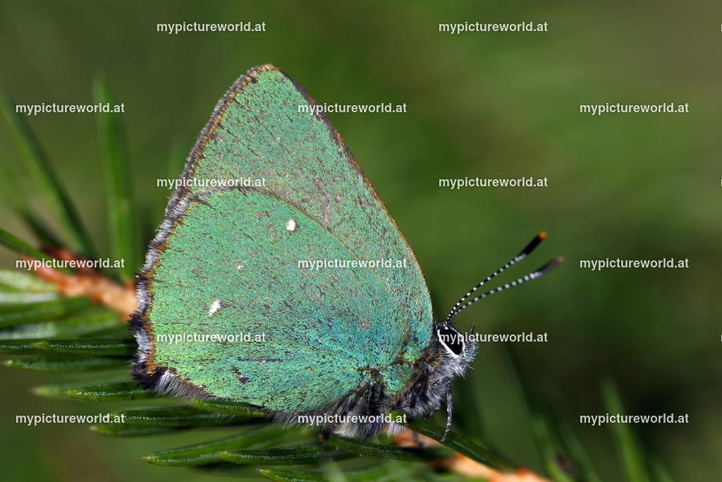 Callophrys rubi-004