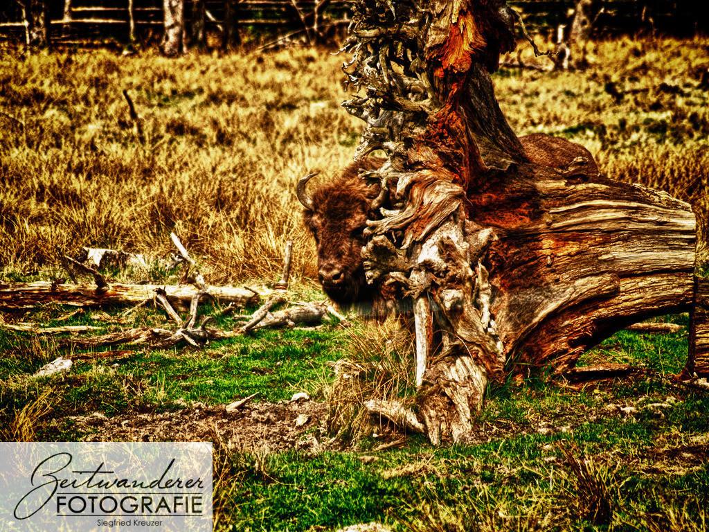 Wisent hinter Baumstumpf   OLYMPUS DIGITAL CAMERA