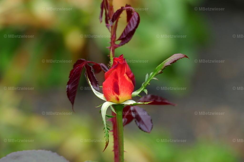 P1010333 | Blume der Liebe