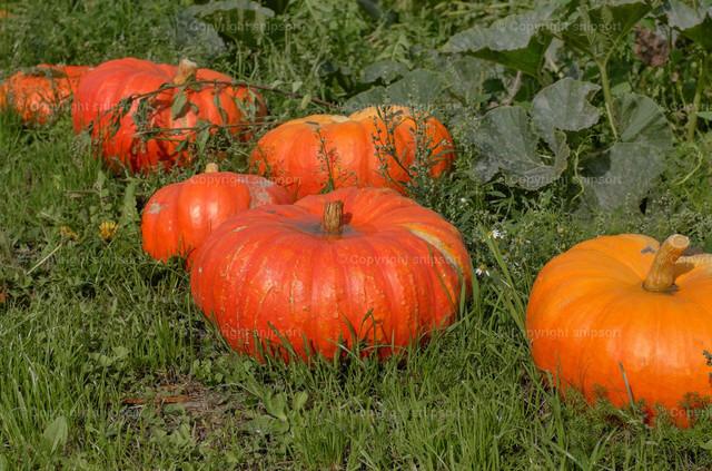 Reife Kürbisse | Reife, orangefarbene Kürbisse liegen im grünen Gras