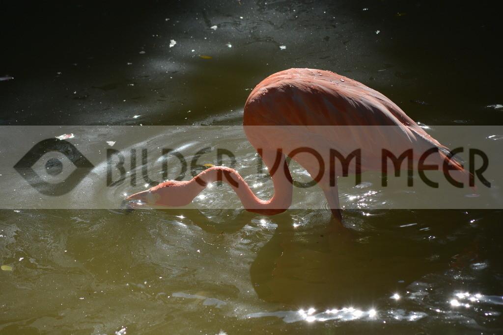 Flamingo Bilder | Flamingo Bilder Italien