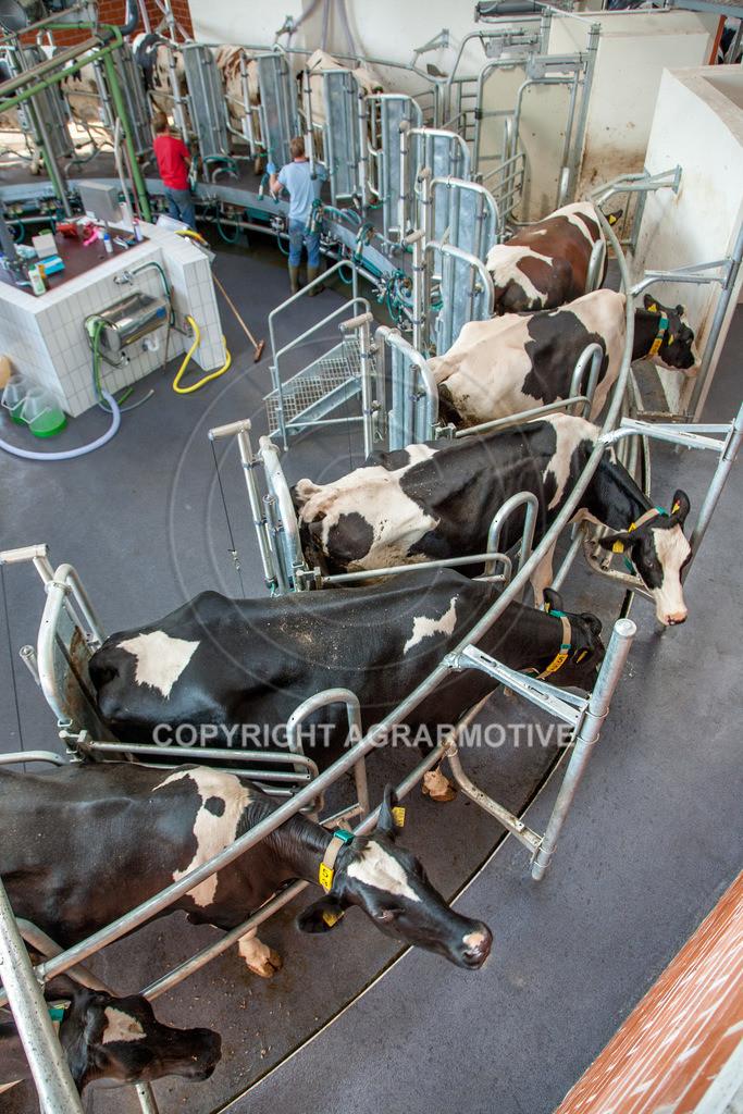 20100821-IMG_0272   Kühe werden im Melkkarussell gemolken