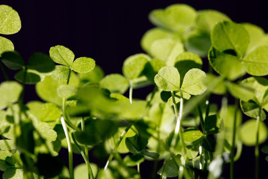 Klee | Klee, Pflanzen.