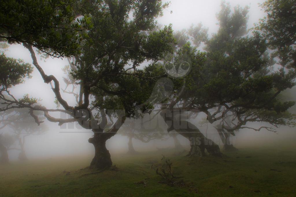 Lorbeerwald   Lorbeerwald auf der Atlantikinsel Madeira.