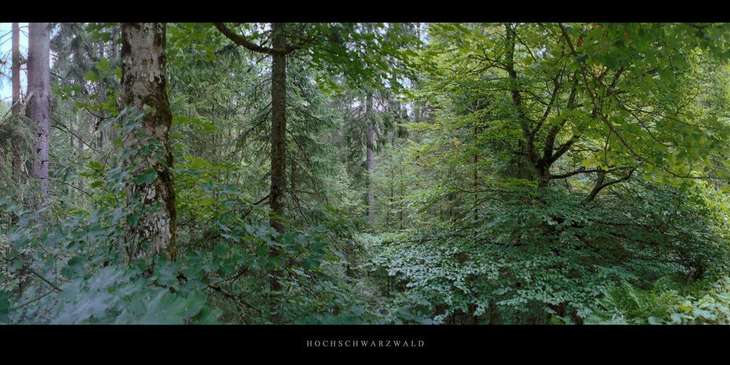 Hochschwarzwald   Mischwald mit Buchen, Birken und Fichten im Hochschwarzwald, gelegen im Süden des Schwarzwalds