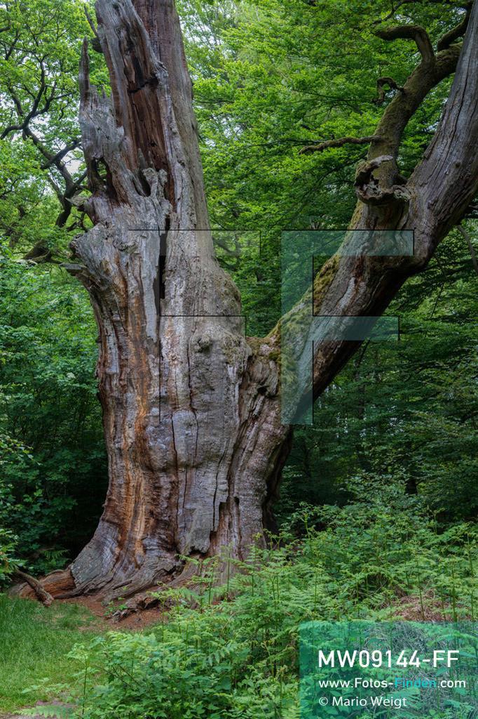 MW09144-FF | Deutschland | Hessen | Reportage: Reise entlang der Weser | Die Wappeneiche, eine Stieleiche mit einem Stammumfang von 7 m und einer Höhe von 17 m. Der Urwald Sababurg gehört zum Naturpark Reinhardswald im Weserbergland. Im 92 ha großen Naturschutzgebiet stehen 200 bis 600 Jahre alte Hute-Eichen und über 400 Jahre alte Buchen.    ** Feindaten bitte anfragen bei Mario Weigt Photography, info@asia-stories.com **