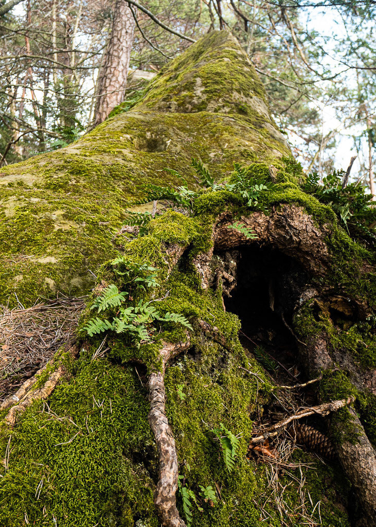 Verwachsener Baum