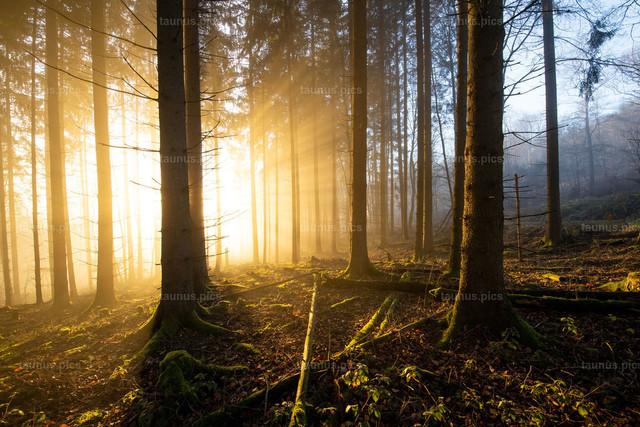 Nebel und Sonne im Wald   28.11.2020, Schmitten (Hessen): Die tiefstehende Sonne scheint am Nachmittag bei Seelenberg an den Nebelgrenze durch den Wald