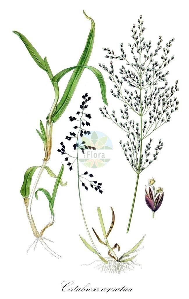 Historical drawing of Catabrosa aquatica (Whorl-grass)   Historical drawing of Catabrosa aquatica (Whorl-grass) showing leaf, flower, fruit, seed