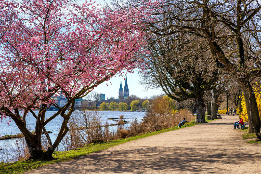 10210502 - Frühling an der Aussenalster | Blick über die Aussenalster auf das Rathaus und die Nikolaikirche mit farbenfrohen Kirschblüten.