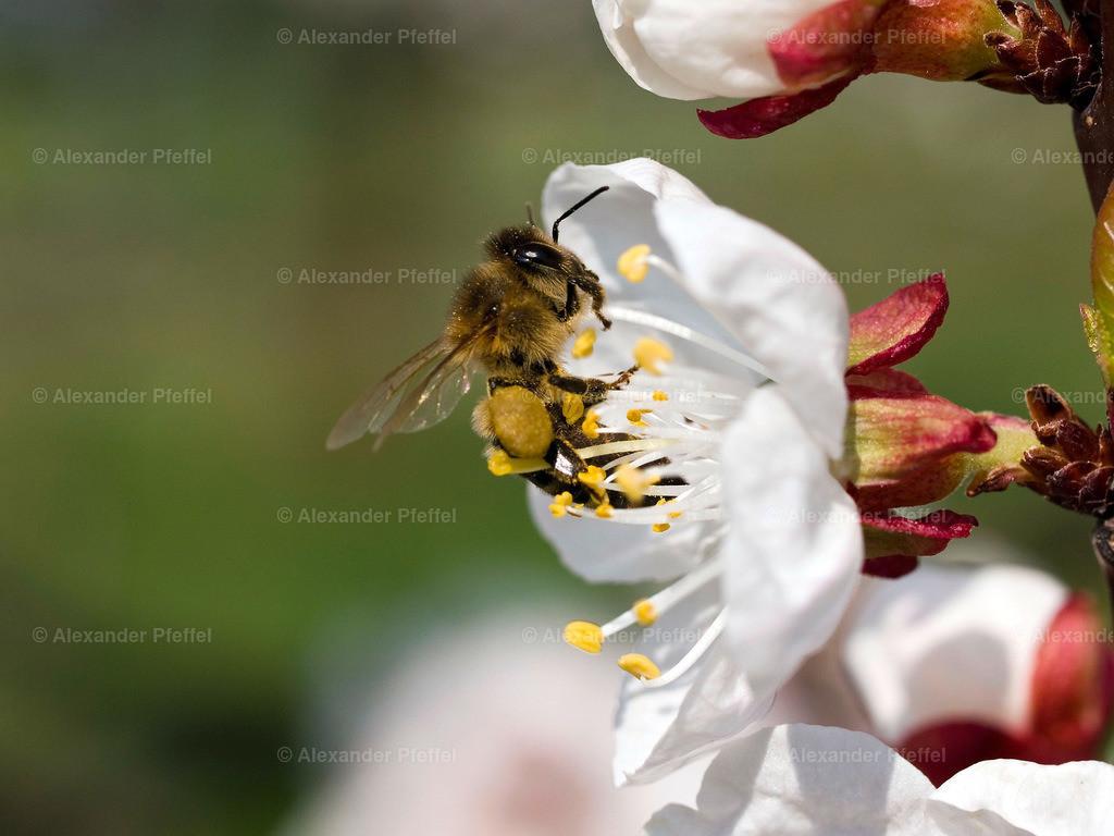 marillenbluete_insekt_(c)photography_pfeffel_at_ (1)   OLYMPUS DIGITAL CAMERA