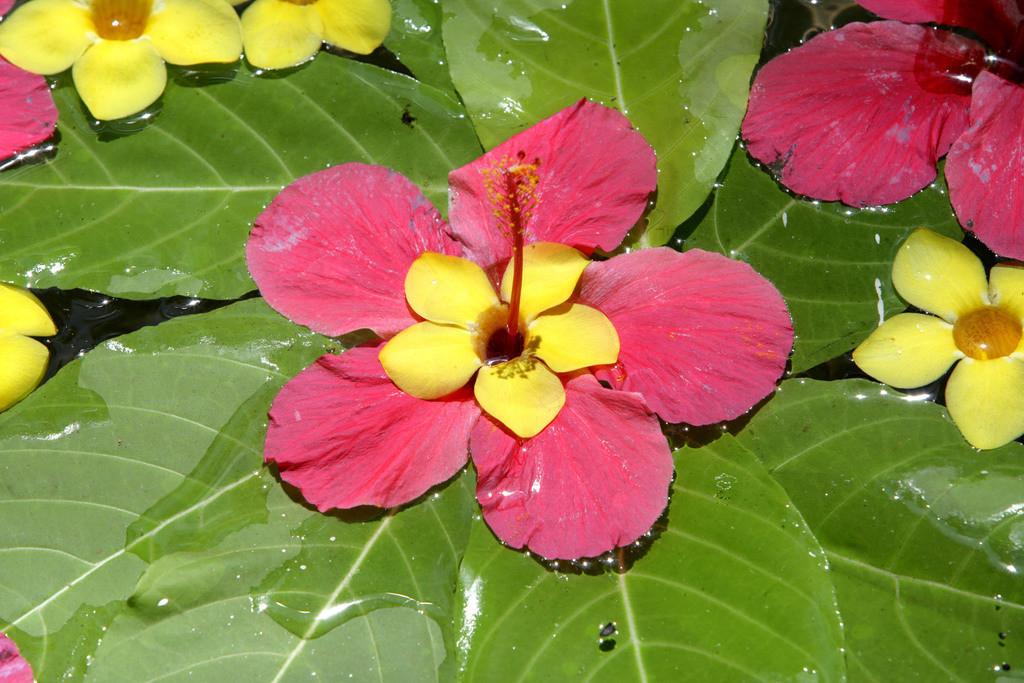 Ayurveda    IND, Indien, Kerala, Trivandrum, Seerosen, Wasserpflanze