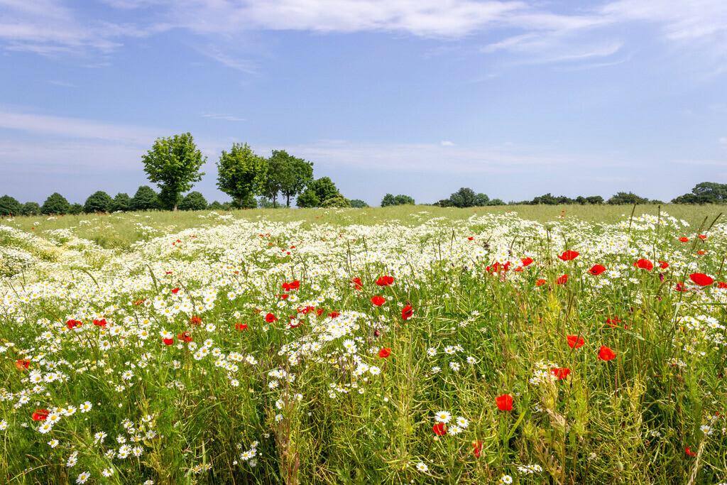 Schönhagen | Feld mit Blumen in Schönhagen