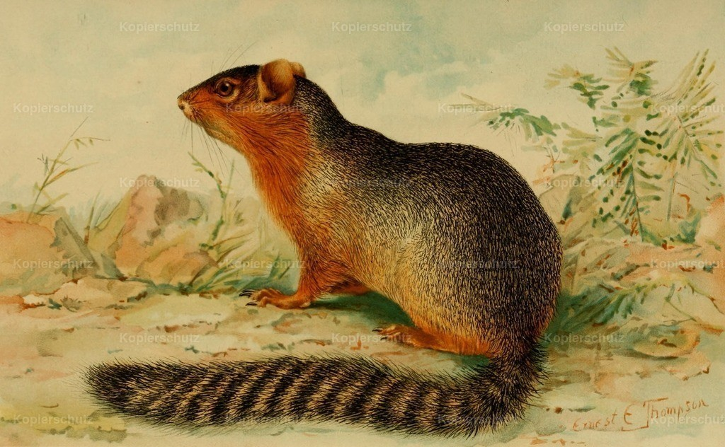 Thompson_ E.E. (1860-1946) - North American Fauna 1938 - Ring-tailed Ground Squirrel