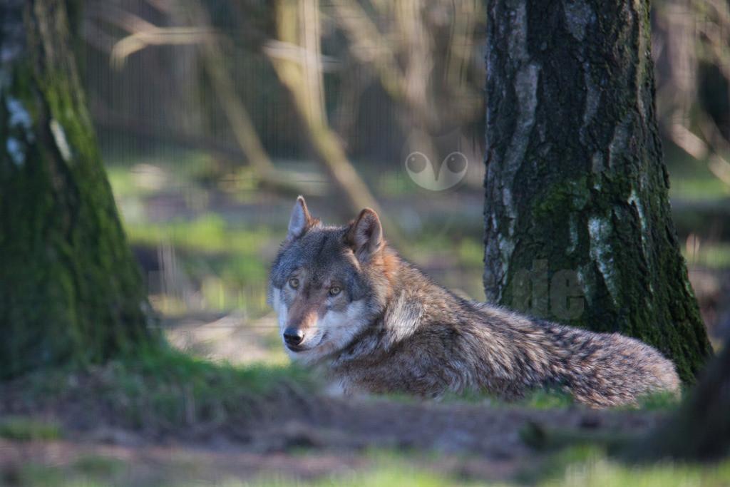 20140309_173114    Wölfe sind sehr anpassungsfähig und bewohnen die unterschiedlichsten Gegenden, von den arktischen Tundren bis zu den Wüsten Nordamerikas und Zentralasiens. Einst war der Wolf eines der am weitesten verbreiteten Säugetierarten der Welt.