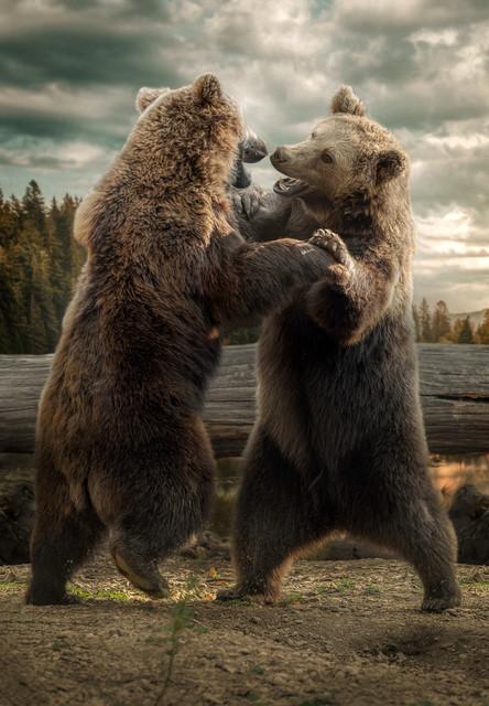 Kämpfenden Bären