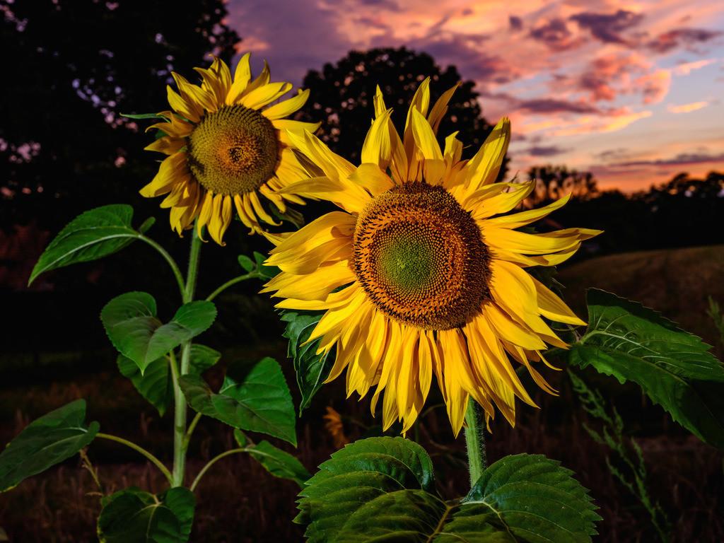 Sonnenblumen in der Dämmerung | Sonnenblumen in der Dämmerung kurz nach Sonnenuntergang.