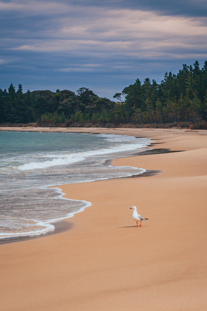 Tasmanien Sandstrand Möwe | Tasmanien Sandstrand Möwe
