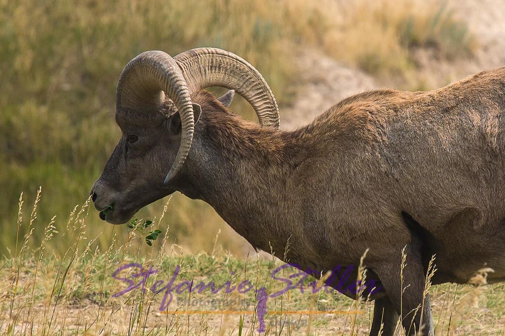 Bighorn Sheep mit Zweig im Maul