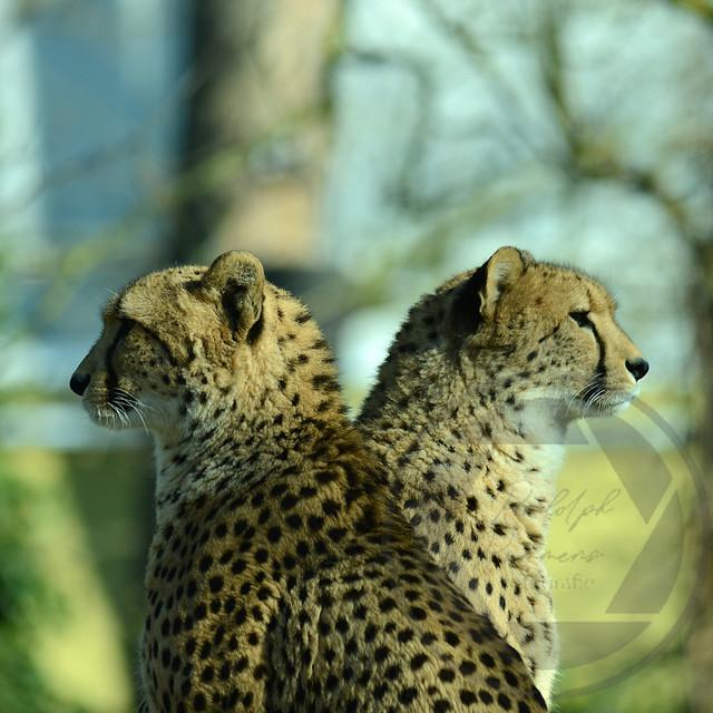 20180218-Koeln-Zoo-Gepard-104
