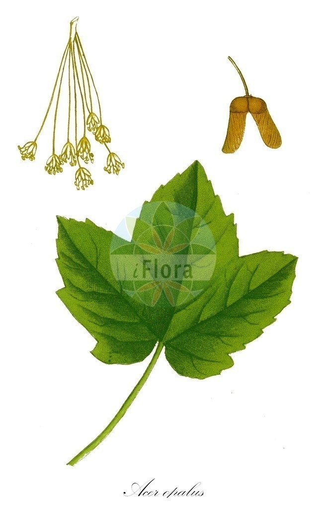 Acer opalus (Fruehlings-Ahorn - Italian Maple) | Historische Abbildung von Acer opalus (Fruehlings-Ahorn - Italian Maple). Das Bild zeigt Blatt, Bluete, Frucht und Same. ---- Historical Drawing of Acer opalus (Fruehlings-Ahorn - Italian Maple).The image is showing leaf, flower, fruit and seed.