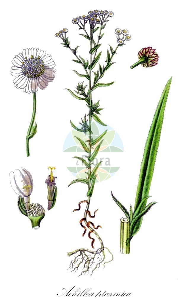 Achillea ptarmica (Sumpf-Schafgarbe - Sneezewort) | Historische Abbildung von Achillea ptarmica (Sumpf-Schafgarbe - Sneezewort). Das Bild zeigt Blatt, Bluete, Frucht und Same. ---- Historical Drawing of Achillea ptarmica (Sumpf-Schafgarbe - Sneezewort).The image is showing leaf, flower, fruit and seed.