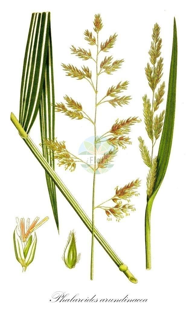 Historical drawing of Phalaroides arundinacea (Reed Canary-grass) | Historical drawing of Phalaroides arundinacea (Reed Canary-grass) showing leaf, flower, fruit, seed