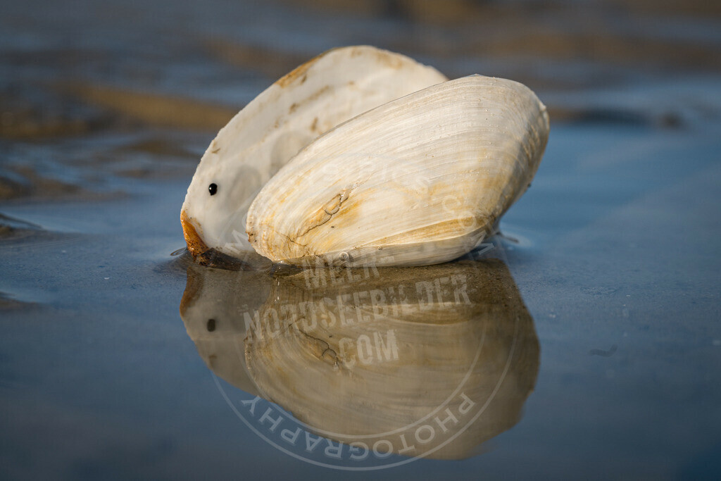 _DSC7390 | Muschel im Spiegelbild
