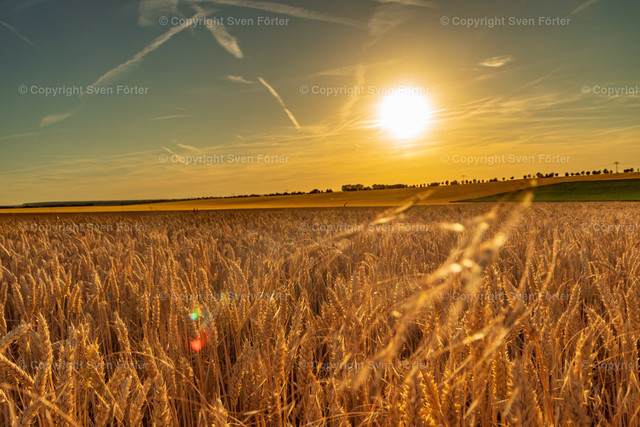 Grain field in the Thuringian basin at sunset   Grain field in the Thuringian basin at sunset
