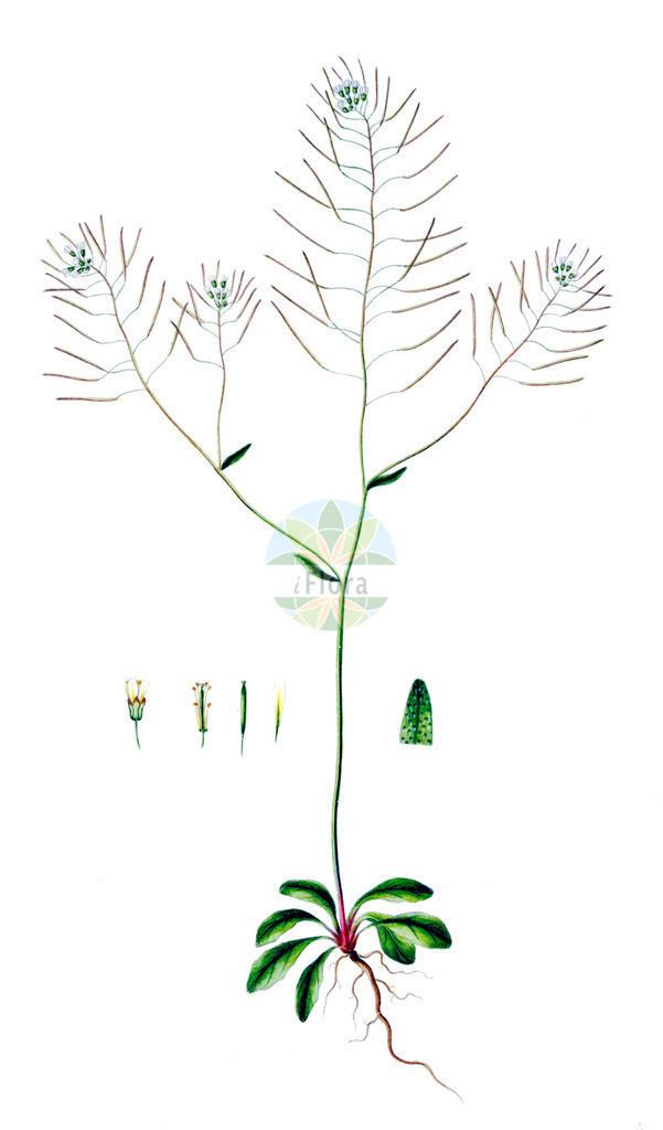 Arabidopsis thaliana (Acker-Schmalwand - Thale Cress) | Historische Abbildung von Arabidopsis thaliana (Acker-Schmalwand - Thale Cress). Das Bild zeigt Blatt, Bluete, Frucht und Same. ---- Historical Drawing of Arabidopsis thaliana (Acker-Schmalwand - Thale Cress).The image is showing leaf, flower, fruit and seed.