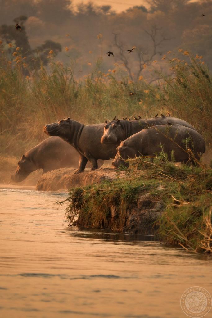 Okavango - Nilpferde im Sonnenuntergang