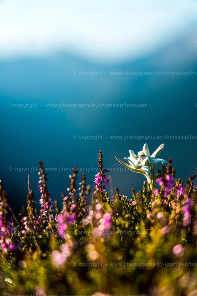 Edelweiss am Ahorn-1