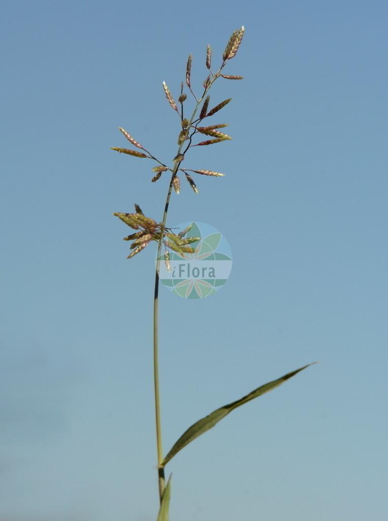 Eragrostis minor (Kleines Liebesgras - Small Love-grass) | Foto von Eragrostis minor (Kleines Liebesgras - Small Love-grass). Das Bild zeigt Blatt und Bluete. Das Foto wurde in Mannheim, Baden-Wuerttemberg, Deutschland, Oberrheinisches Tiefland und Rhein-Main-Ebene aufgenommen. ---- Photo of Eragrostis minor (Kleines Liebesgras - Small Love-grass).The image is showing leaf and flower.The picture was taken in Mannheim, Baden-Wuerttemberg, Germany, Oberrheinisches Tiefland and Rhein-Main-Ebene.