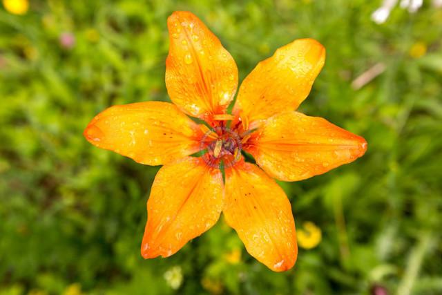 Feuerlilie, Lilium bulbiferum, Blüte   ITA, Italien, Südtirol, Dolomiten, 15.07.2014, Feuerlilie, Lilium bulbiferum, Blüte