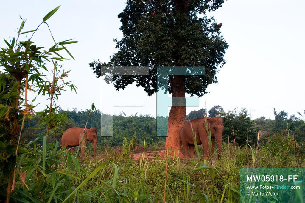 MW05918-FF | Thailand | Goldenes Dreieck | Reportage: Mahut und Elefant - Ein Bündnis fürs Leben | Zwei Elefanten im Dschungel   ** Feindaten bitte anfragen bei Mario Weigt Photography, info@asia-stories.com **