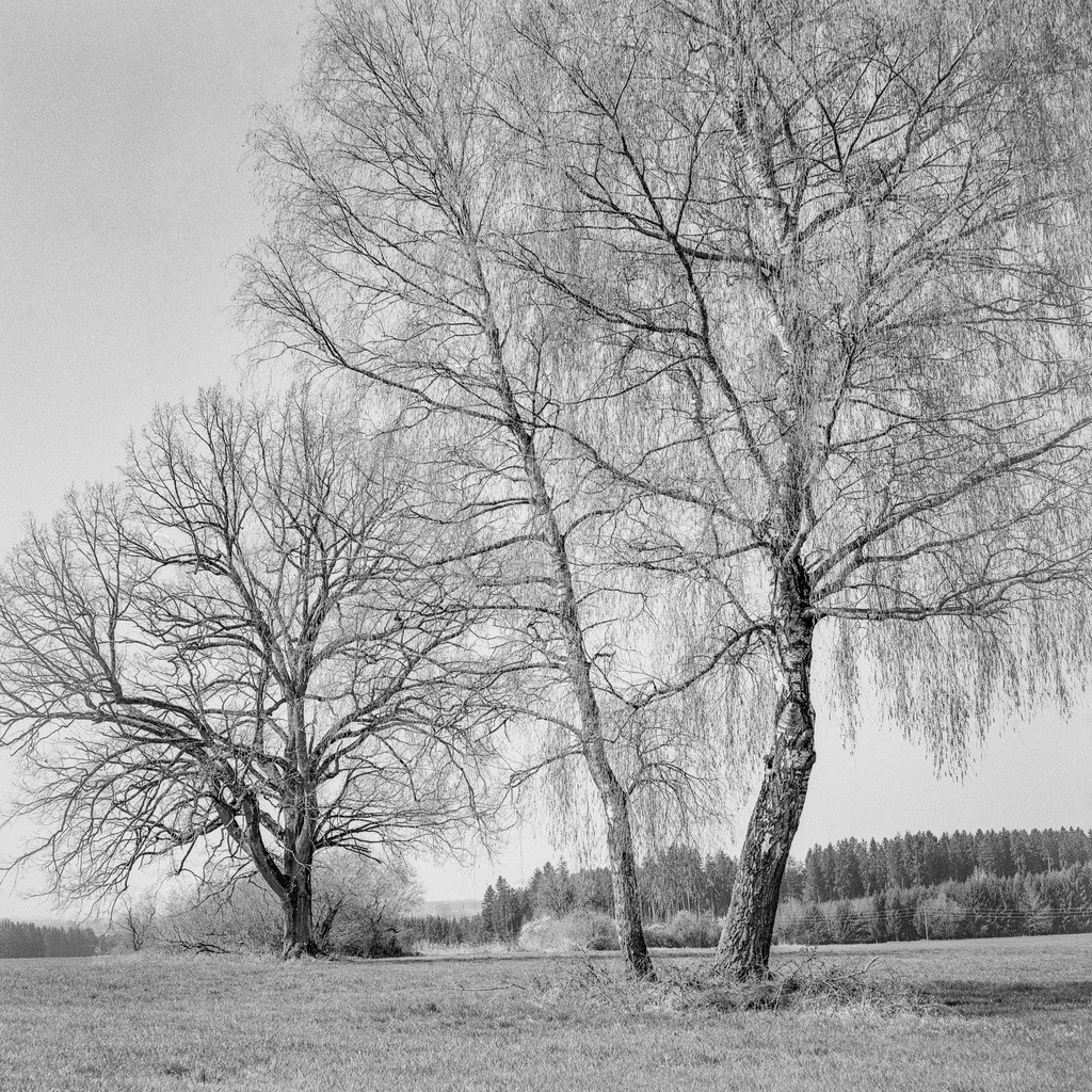 Three Trees | Mittelformat-Analogfotografie mit meiner Mamiya C330.