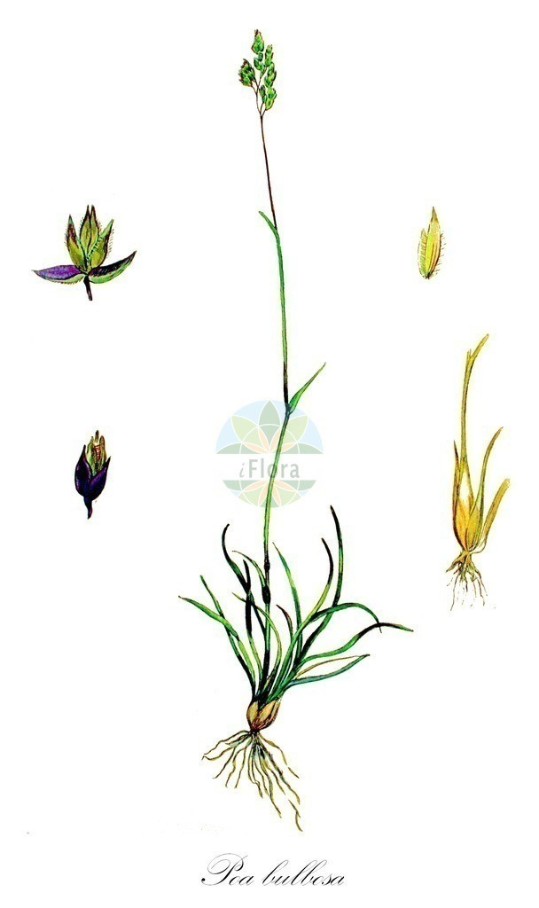 Historical drawing of Poa bulbosa (Bulbous Meadow-grass) | Historical drawing of Poa bulbosa (Bulbous Meadow-grass) showing leaf, flower, fruit, seed